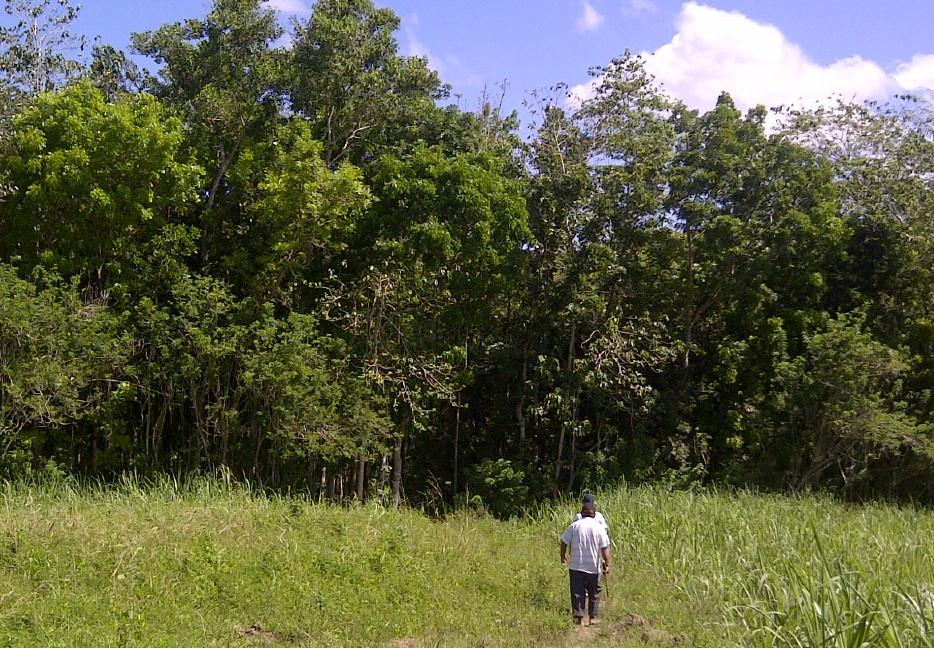 Premium Mahogany Tree Farm In Philippines A Profitable Investment