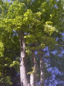 Philippines Mahogany Tree