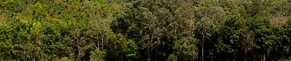 Mahogany Tree Farm In Philippines Swietenia Macrophylla